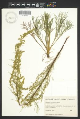 Image of Artemisia canadensis