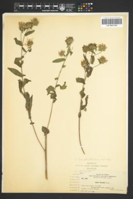 Image of Symphyotrichum cusickii