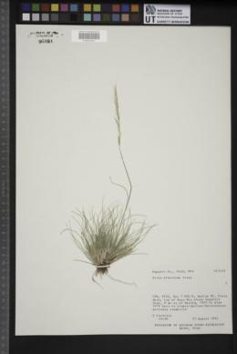 Achnatherum pinetorum image