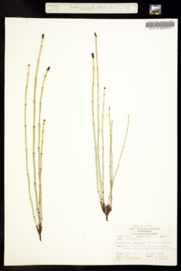 Image of Hippochaete variegata