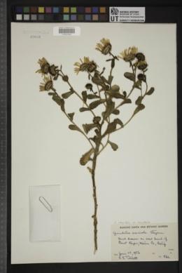 Grindelia integrifolia image