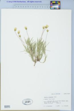 Pectis longipes image