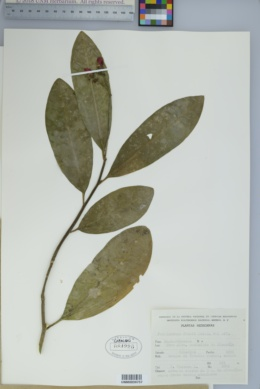 Image of Euphorbia finkii