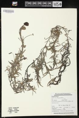 Eichhornia diversifolia image