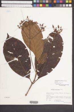 Image of Ciliosemina purdieana