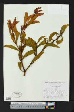 Image of Phoradendron schumanni