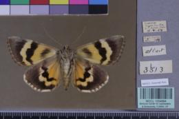 Catocala piatrix image