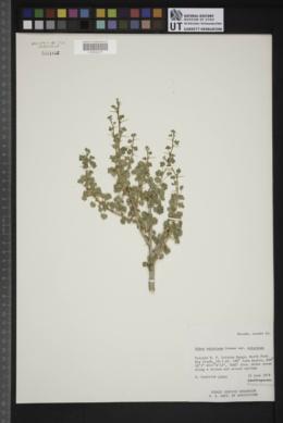 Ribes velutinum image