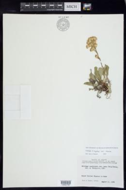 Solidago simplex image
