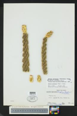 Cylindropuntia spinosior image