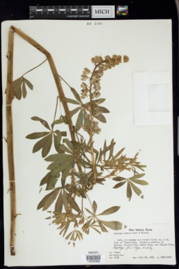Image of Lupinus sierrae-blancae