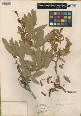 Eriosema grandiflorum image