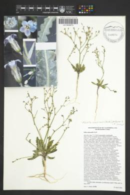 Gilia subacaulis image