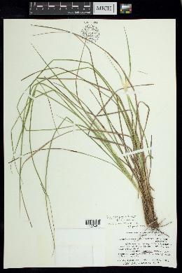 Image of Rhynchospora oaxacana