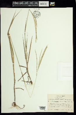 Image of Digitaria argillacea