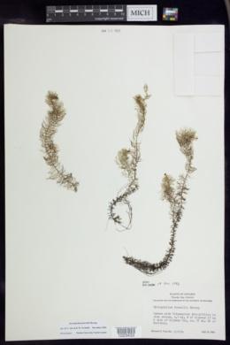 Myriophyllum farwellii image