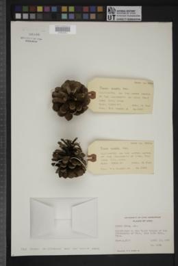Image of Pinus nigra