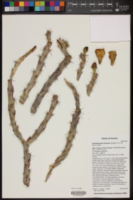 Cylindropuntia versicolor image