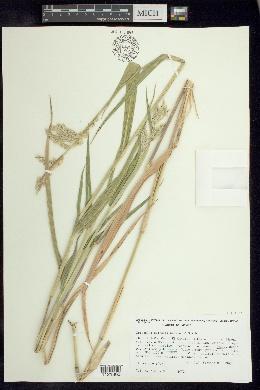 Image of Eriochloa nelsonii