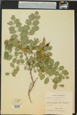 Robinia neomexicana var. neomexicana image