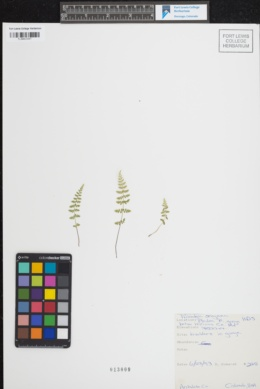 Woodsia oregana image