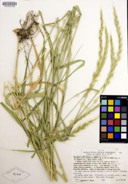 Image of Elymus × saundersii