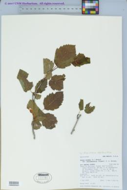Alnus incana image