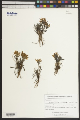Image of Pedicularis armena