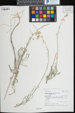 Image of Boechera duchesnensis