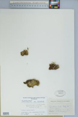 Silene acaulis var. subacaulescens image
