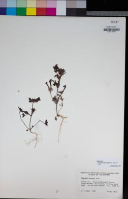 Erythranthe palmeri image