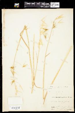 Image of Avena longiglumis