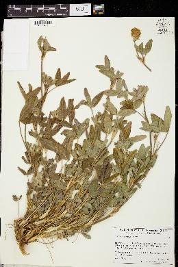 Image of Trifolium apertum