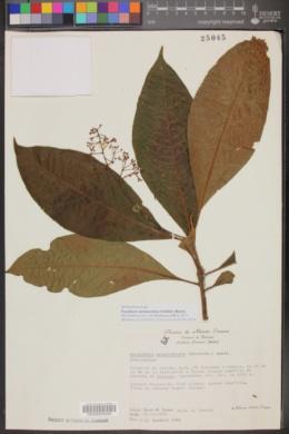 Image of Parathesis melanosticta