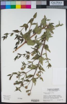 Aldama cordifolia image