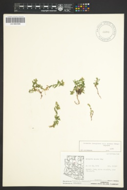Arenaria lanuginosa image