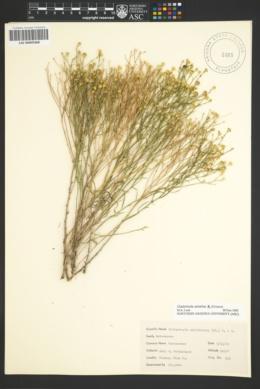 Gutierrezia serotina image