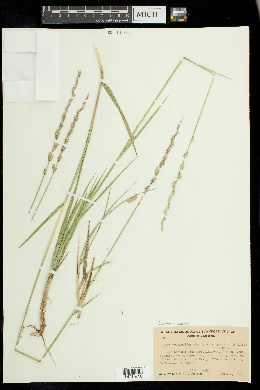 Leymus simplex image