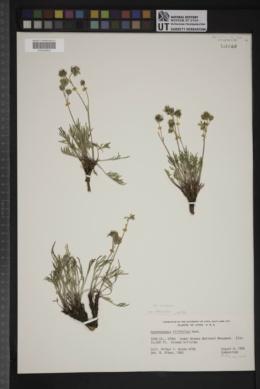 Hymenopappus filifolius var. nudipes image