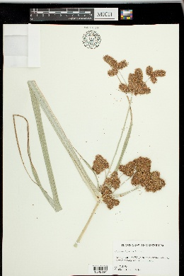 Image of Cyperus alopecuroides