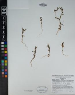 Mentzelia dispersa image