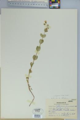 Hypericum scouleri image