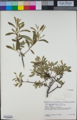 Image of Cordia ferruginea