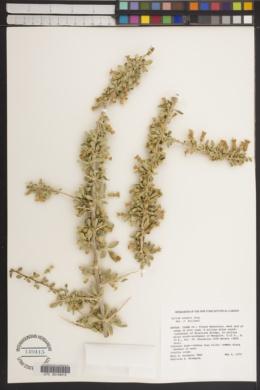 Lycium cooperi image