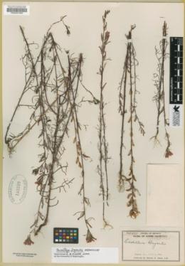 Image of Castilleja bryantii