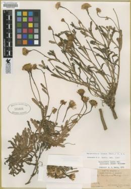 Image of Malacothrix succulenta