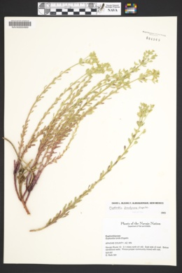 Euphorbia lurida image