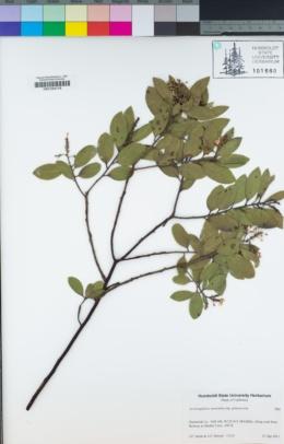 Arctostaphylos manzanita subsp. glaucescens image