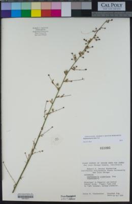Stephanomeria elata image