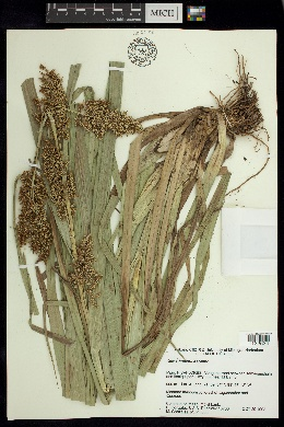 Image of Carex hultenii
